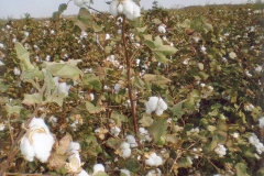 Cotton in Sudan