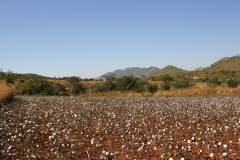 Cotton Field in Zimbabwe